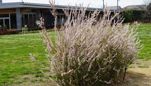 DSC07479花菜ガーデン