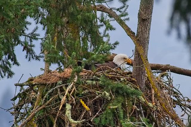 Skinner butte eagle nesting