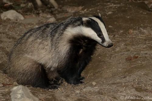 Blaireau - Meles meles - European Badger