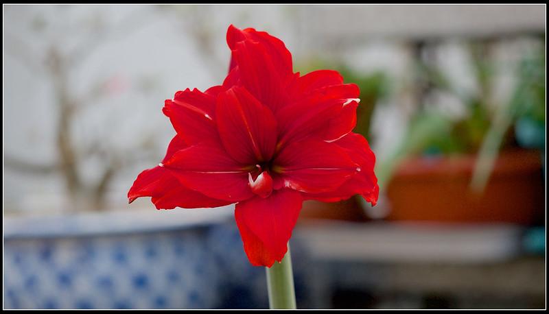 孤挺-06-Red Peacock紅孔雀-P4100632 (1)