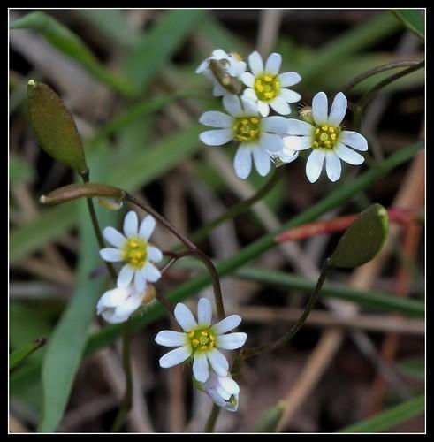 Draba verna (= Erophila verna) - drave printanière 27557670248_fc262e0519