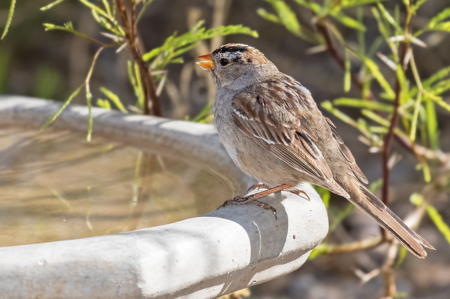 White-crowned-Sparrow-13-7D2-041518