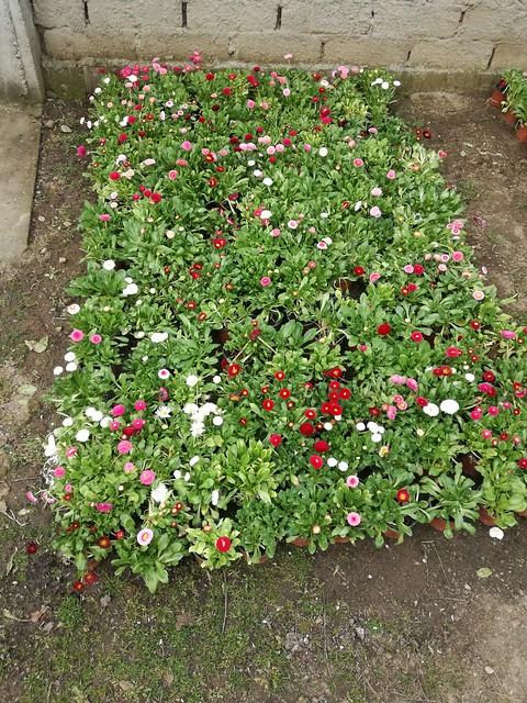 Rasaduri legume, mirodenii si flori si cultivarea lor in comuna Cernica.