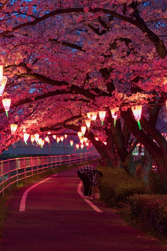 CherryBlossoms_32