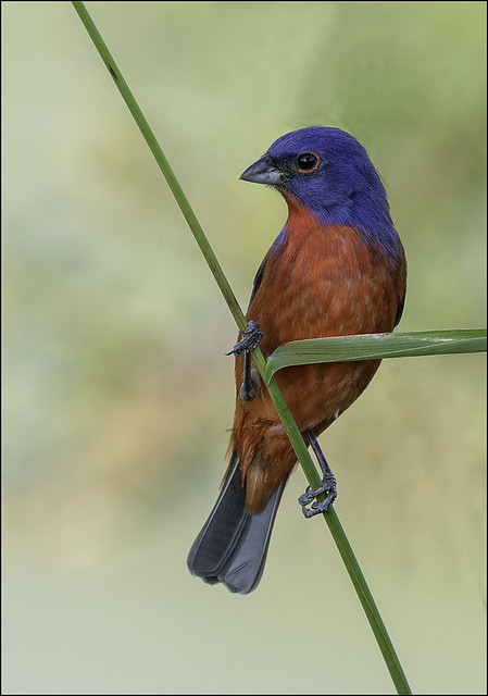 Painted Bunting ( Male )