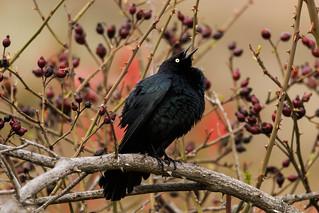 Displaying Black Bird