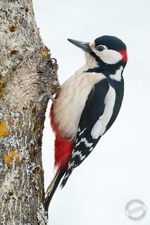 Buntspecht - Great spotted Woodpecker - Dendrocopos major