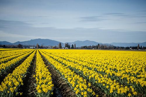 Skagit Daffodils-50