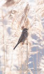 Bruant des roseaux - Emberiza schoeniclus - Common Reed Bunting : Michel NOËL © 2018-3192.jpg