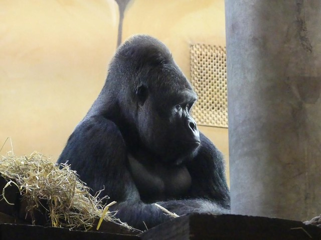 Gorilla, Ouwehands Dierenpark Rhenen