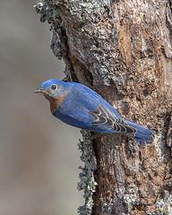 Male Eastern Bluebird at Nest Hole (Sialia sialis) (DSB0294)