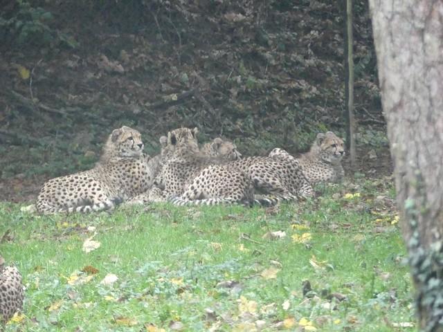 Geparden, Burgers Zoo