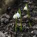 Frühlingsknotenblumen