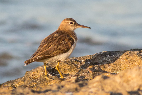 solitary sandpiper - maybe