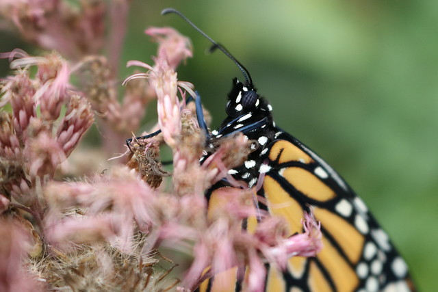Closeup of a monarch butterfly hanging off a joe-pye weed, facing left.