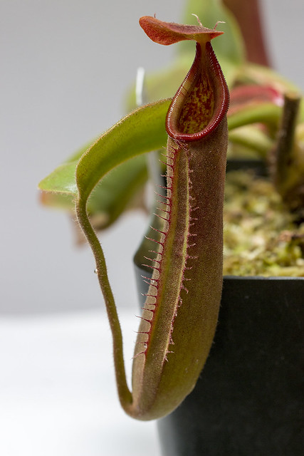 Nepenthes truncata G EP sg