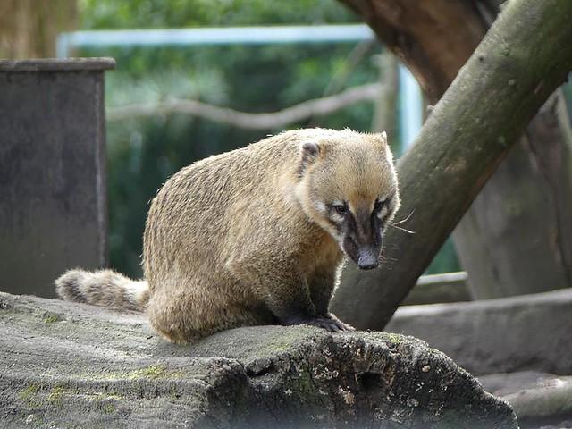 Nasenbär, Zoo Duisburg