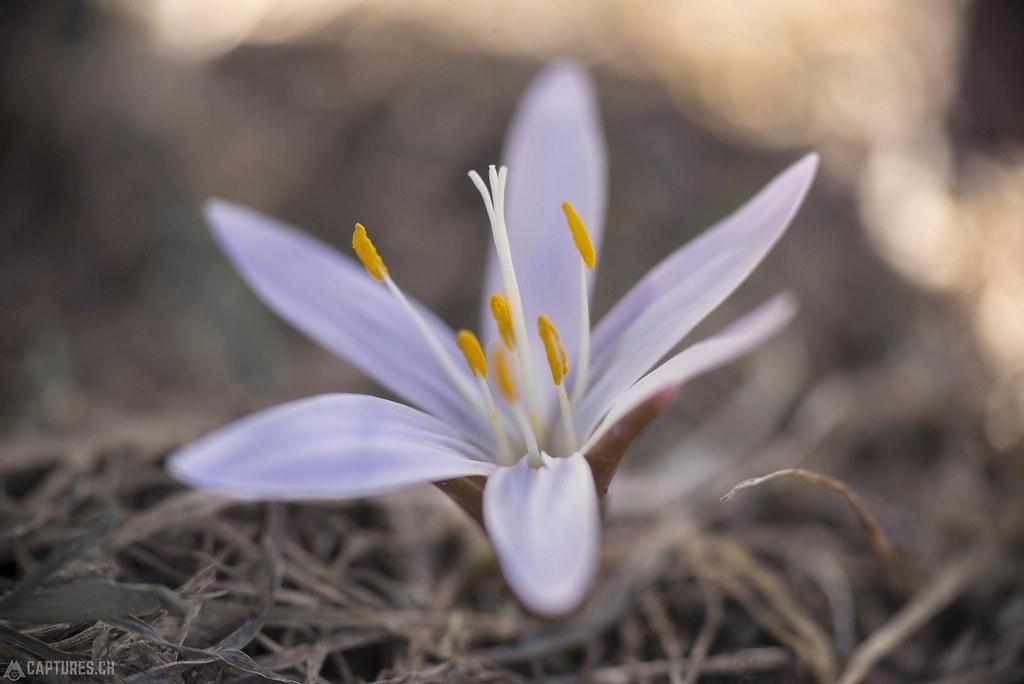 Weisse Lichtblume - Eischoll
