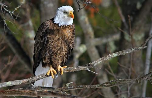 Bald Eagle Teal River Chequemagon N.F
