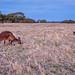 Sunset Hangout with Kangaroo Island Kangaroos