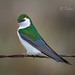 Violet-green Swallow 20180316_2907 by GORGEous nature