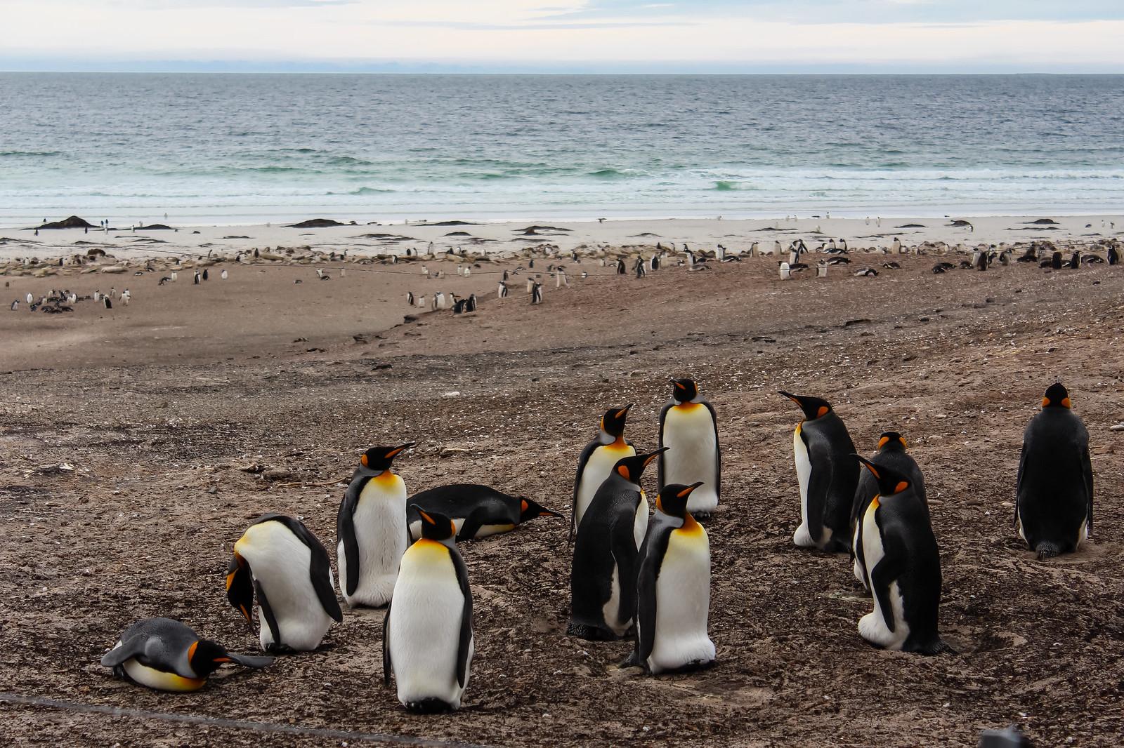 Falklandinsaaret kungingaspingviinit