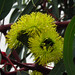 Yellow flowers on a eucalyptus