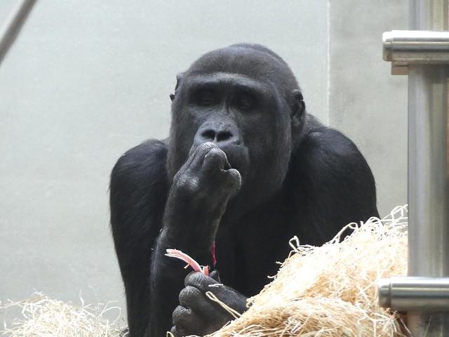 Gorilla Kimbali, Wilhelma