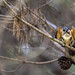 Sacred Kingfisher 93