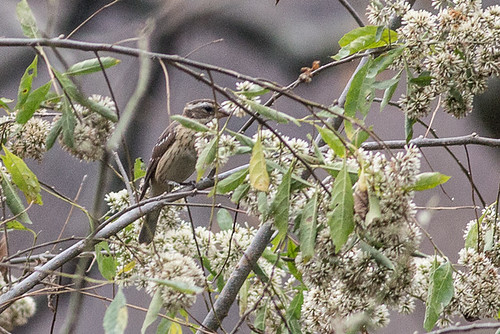 Black-headed Grosbeak - female