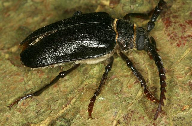 Prionus coriarius (Linnaeus 1758) = Cerambyx coriarius Linnaeus, 1758, le prione tanneur ou prione tanneur.