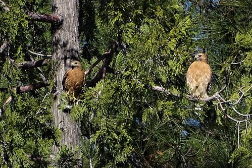 redshoulderedhawk buteo buteolineatus birdofprey hawk championminerd nevadacounty california rsha