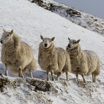 Barrowburn Sheep