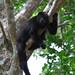 Black Howler Monkey (Alouatta pigra)