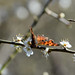 Comma butterfly on Blackthorn blossom