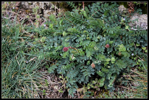 Sanguisorba minor - petite pimprenelle 27556569578_acfdcd40e3