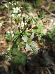 Broadleaf Toothwort on April 13, 2018