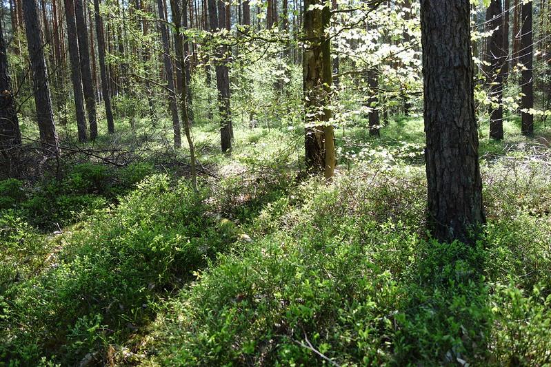 ein sonniger Kiefernwald, auf dessen Boden viele Blaubeersträucher wachsen. Gerade blühen sie und duften nach den späteren Früchten.
