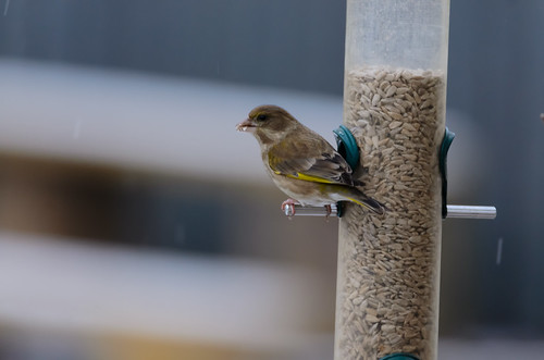 Greenfinch / seed feeder