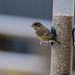 Greenfinch / seed feeder