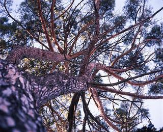 Pine Tree, Tuscany