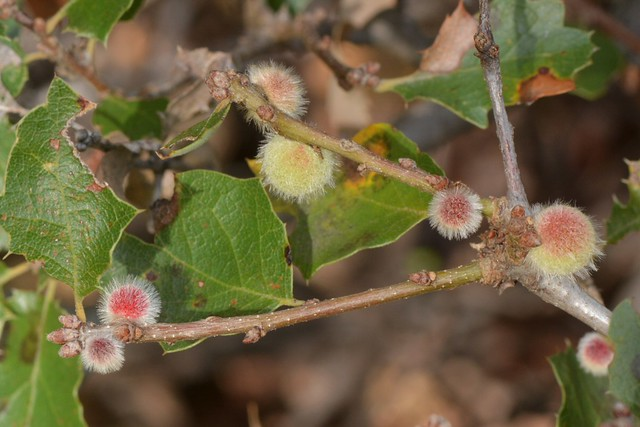 New galls and old leaves on Scrub Oak