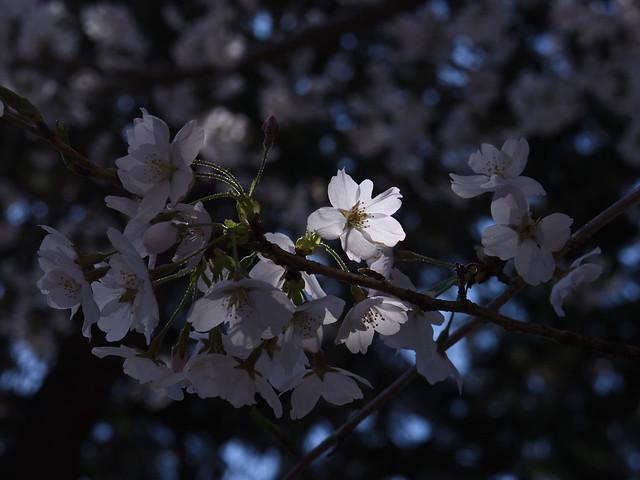 Full bloom cherry
