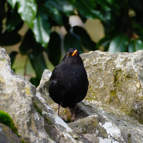Male blackbird: lookout on a wall