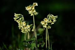 Primula veris - Photo of Bannost-Villegagnon