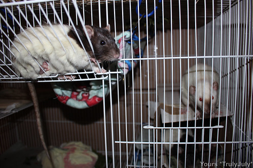 Hanging in there: Rattie Harley doesn't mind a bit of a squeeze.