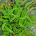 Maidenhair Spleenwort Asplenium trichomanes