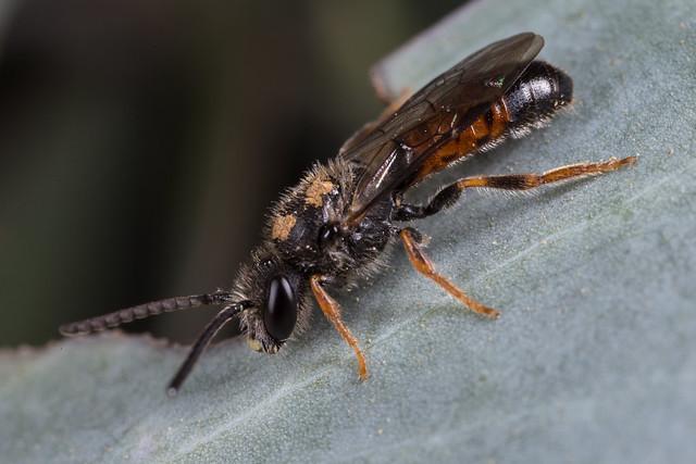 Lasioglossum (Parasphecodes) bee