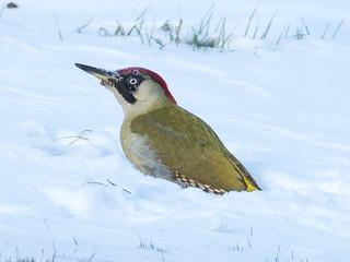 European green woodpecker / Grünspecht (Picus viridis)