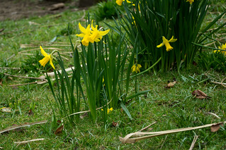 20180322-10_Coombe Abbey Country Park - Daffodils